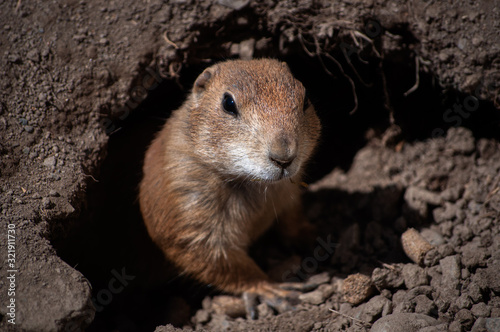 Fotomural Prairie Dog sticking it's head outside the den at a zoo in Upstate NY