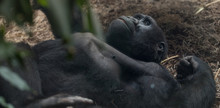 Gorilla Lying On His Back And ...