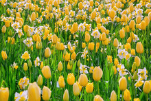 Narcissus And Tulips Flowerbed