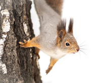 Portrait Of A Squirrel On A Tr...