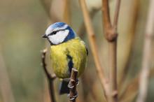Eurasian Blue Tit (Cyanistes C...