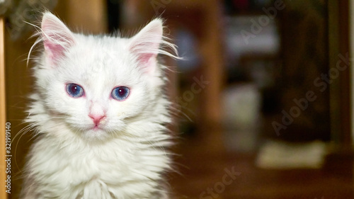 Photo Turkish Angora Kitten close-up low light