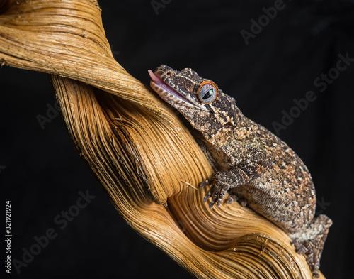 Gargoyle Gecko on stick with black background Canvas Print
