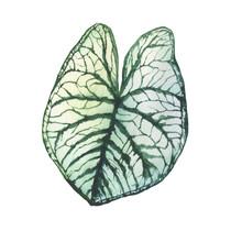 Caladium Plant With White Leaf...