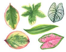 Set Green Leaves Of Tropical Plants- Ficus, Caladium, Fatshedera Lizei, Dracaena. Watercolor Hand Drawn Painting Illustration, Isolated On A White Background.