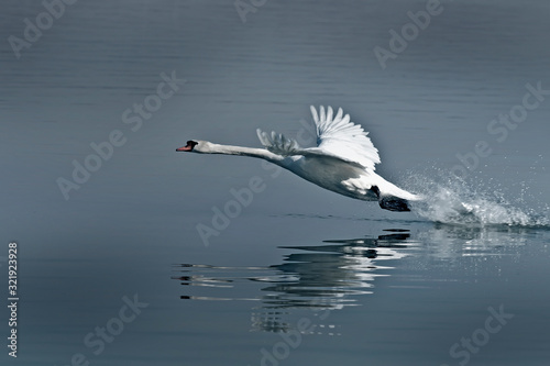 Photo The swan's takeoff