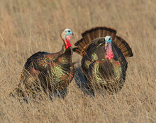 Male Turkeys In The Wichita Mo...
