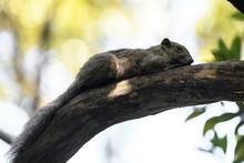 Formosan Squirrel Portrait (also Called Taiwan Squirrel) Resting On A Branch