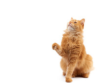 Adult Ginger Fluffy Cat Raised His Front Paw Up On A White Background