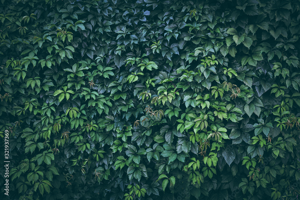 Fototapeta Green plant leaves background, foliage wall, toned