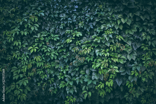 Fotografija Green plant leaves background, foliage wall, toned