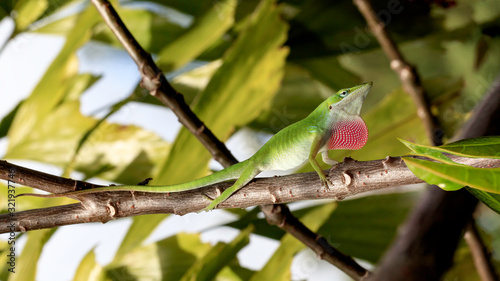 Green anole, Anolis carolinensis, sits on branches and mates Wallpaper Mural