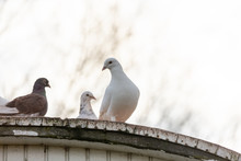 Group Of Carrier Pigeons On The Roof