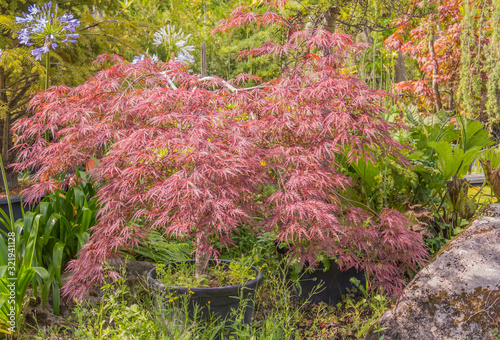 Acer palmatum Dissectum garnet in a pot outdoors Canvas Print