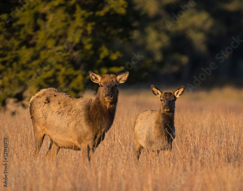 A Cow and Calf Elk in the Wichita Mountains Fotobehang