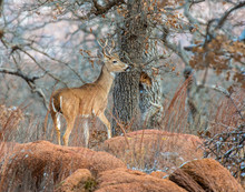 A White-tailed Deer Buck In The Wichita Mountains