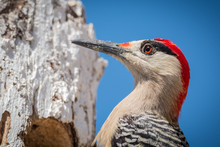 West Indian Woodpecker - Melan...