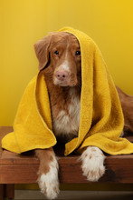 Dog After A Shower In A Towel. Animal On A Yellow Background. Pet Wash