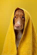 Dog After A Shower In A Towel....