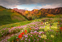 Abion Basin Wildflowers At Alt...