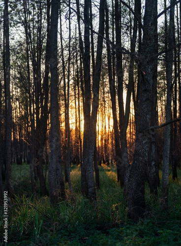Mesmerizing view of the tall trees and the grass in the forest during sunset
