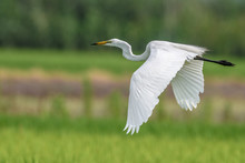 White Egret Flying Over A Green Rice Field