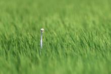 White Egret Hiding In A Green ...