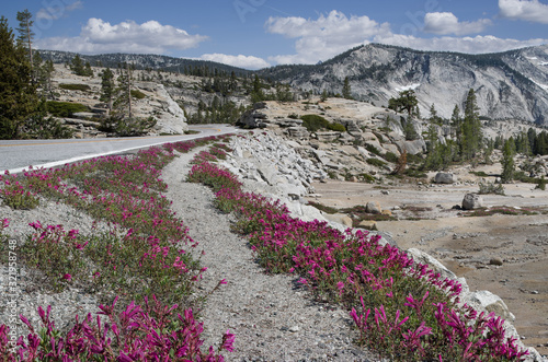 Roadside Flowers in Yosemite Park:  Wildflowers along the Tioga Road decorate the arid landscape in early July Canvas Print