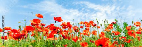 Red poppy flowers on sunny blue sky - 321967932