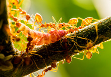 Ants Biting And Pulling Worm O...