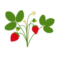 Strawberry Plant Drawing With ...