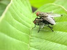 A Macro Shot Of Two Mating Flies