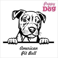 Puppy American Pit Bull - Peek...