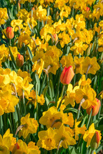 Red Tulips And Yellow Daffodil...