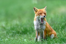 Yawning Japanese Red Fox Portr...