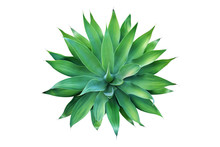 Top View Of Fox Tail Agave Plant Isolated On White Background