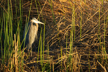 Great Blue Heron Perched In Th...