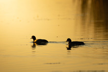 American Coot Birds Swimming Water Silhouette .