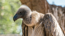 White Backed African Vulture I...