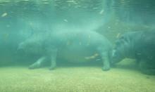 Under Water Hippo
