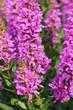 canvas print picture - Lythrum salicaria purple loosestrife purple flowers vertcial