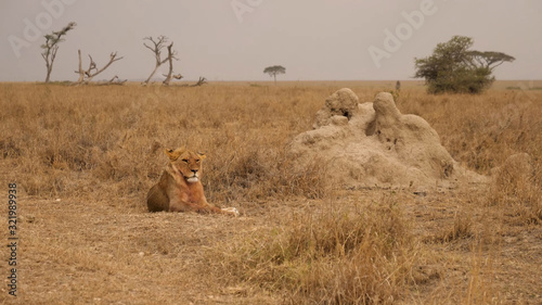 A lion sits thoughtfully in the middle of a dry savannah in South Africa Wallpaper Mural