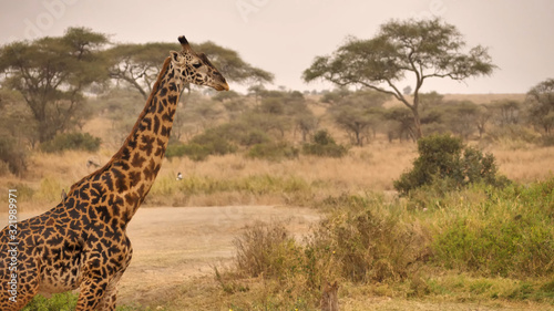 Giraffe turned sideways lonely stands on the background of the African savannah