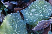 凍てる落ち葉