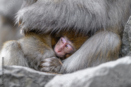 Photo Japanese snow monkey baby cuddling with mother