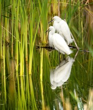 White Snowy Egrets Standing In...