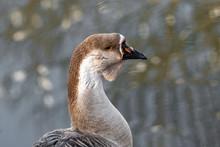 Portrait Of Swan (Chinese) Goo...