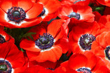 Close up of red open Anemone flower at background