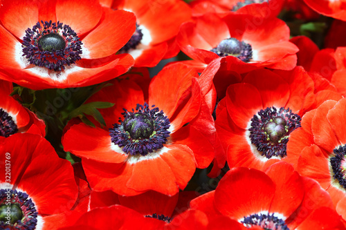 Close up of red open Anemone flower at background Wallpaper Mural