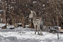 The Plains Zebra In Winter.Wildlife In Nature